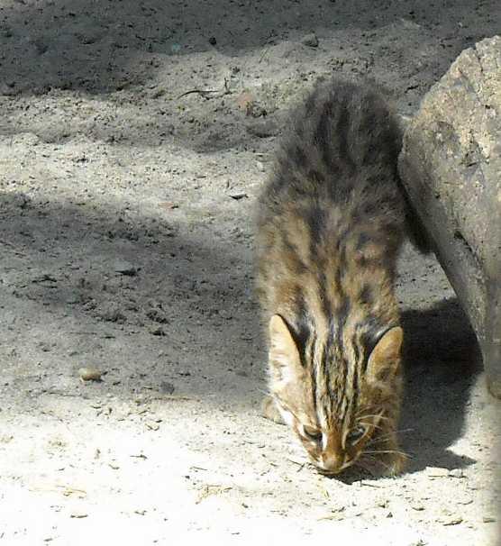 Дальневосточный лесной кот - Felis euptilura  (фото 4182)