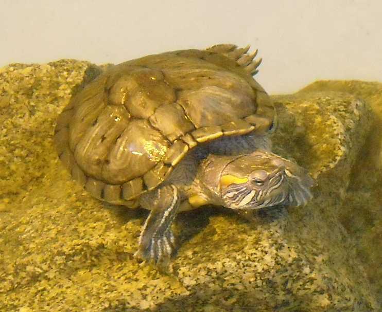 Красноухая черепаха - Pseudemys scripta elegans  (фото 4418)