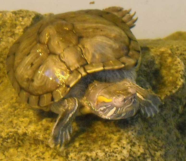 Красноухая черепаха - Pseudemys scripta elegans  (фото 4421)