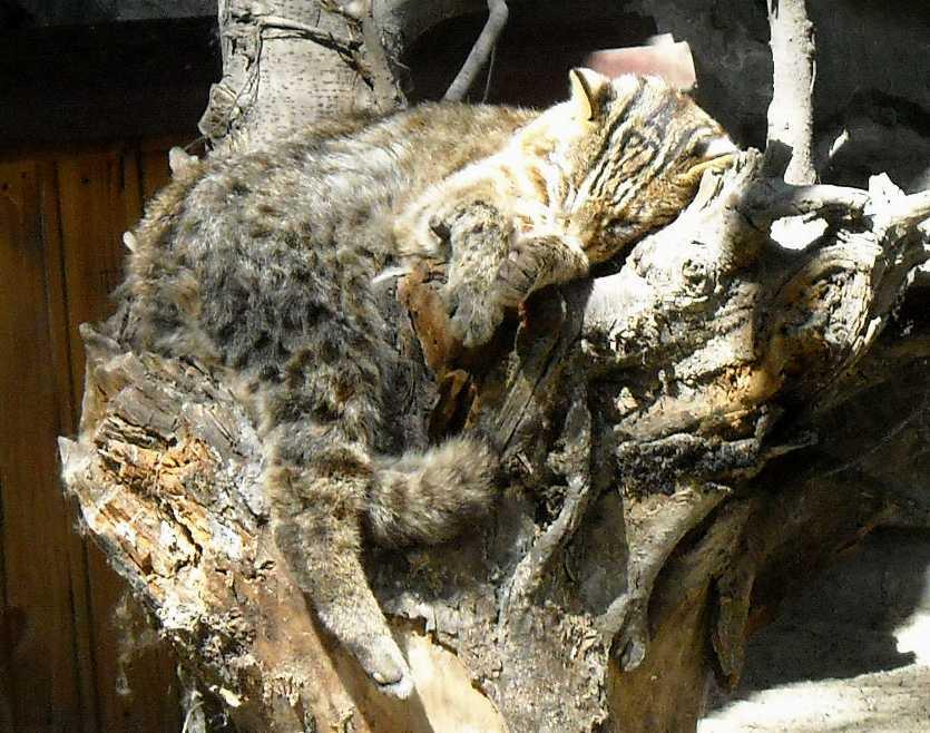 Дальневосточный лесной кот - Felis euptilura  (фото 4439)