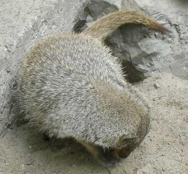 Полосатый мангуст - Mungos mungo  (фото 4442)