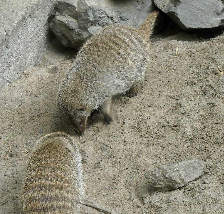 Полосатый мангуст - Mungos mungo  (фото 4444)