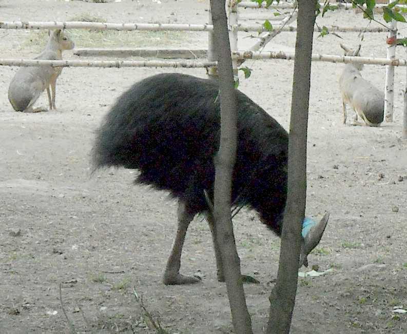 Патагонская мара - Dolichotis patagonica  (фото 4456)