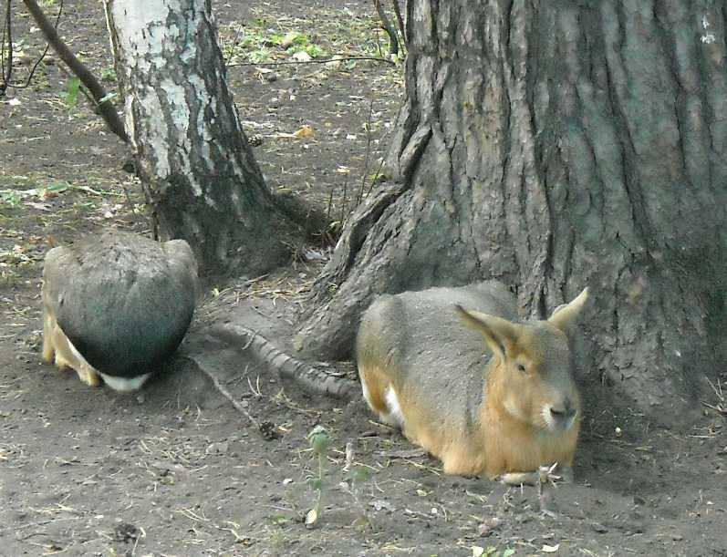Патагонская мара - Dolichotis patagonica  (фото 4473)