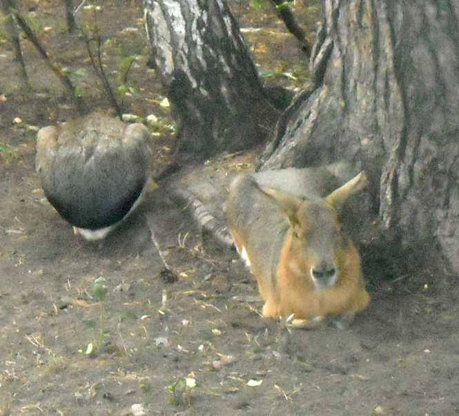 Патагонская мара - Dolichotis patagonica  (фото 4474)