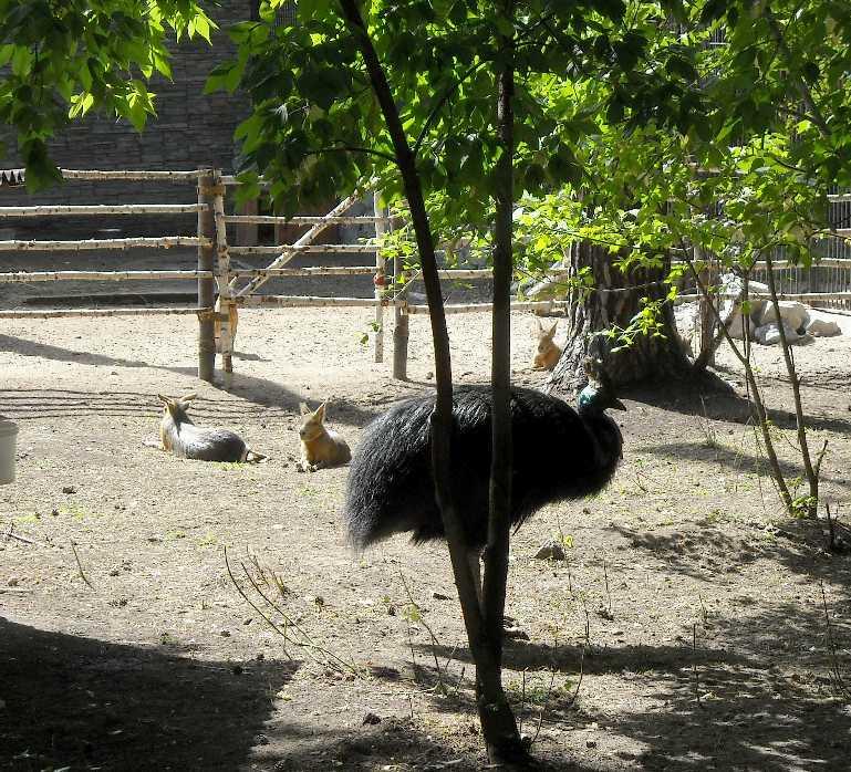 Патагонская мара - Dolichotis patagonica  (фото 4476)