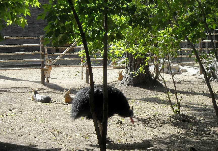 Патагонская мара - Dolichotis patagonica  (фото 4477)