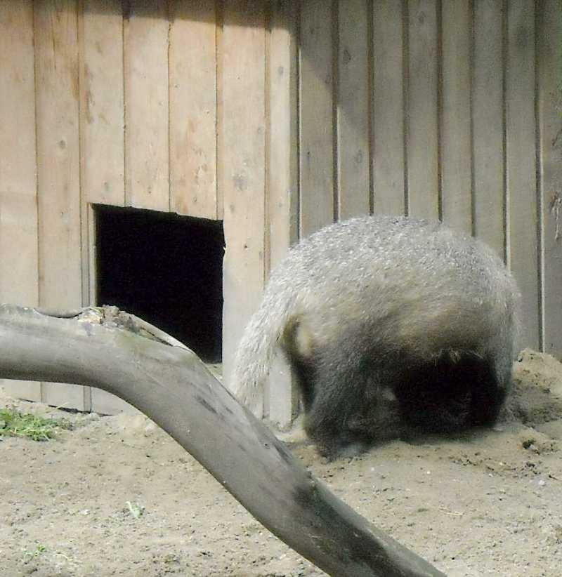 Обыкновенный барсук - Meles meles  (фото 4486)