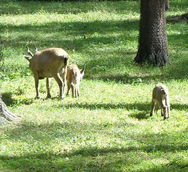 винторогий козел - Capra falconeri heptneri  (фото 4502)