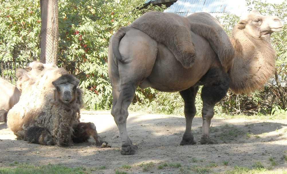 Двугорбый верблюд - Camelus ferus dom.  (фото 4532)