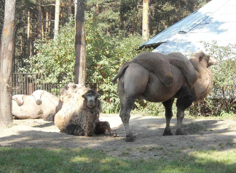 Двугорбый верблюд - Camelus ferus dom.  (фото 4533)