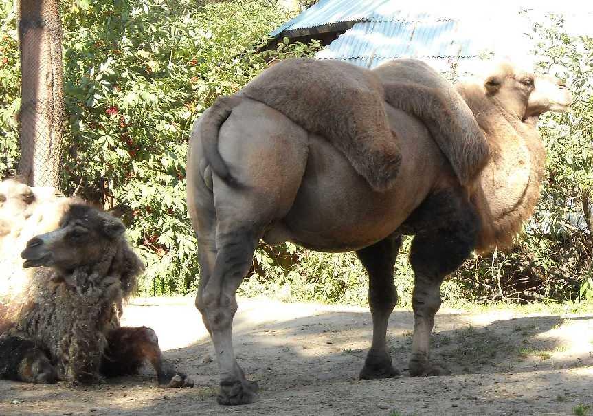 Двугорбый верблюд - Camelus ferus dom.  (фото 4534)