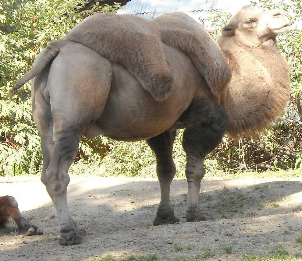 Двугорбый верблюд - Camelus ferus dom.  (фото 4535)