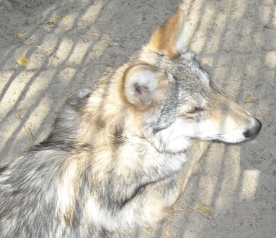 Серый волк - Canis lupus  (фото 4574)