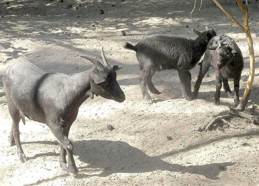 Камерунская коза -   (фото 4575)