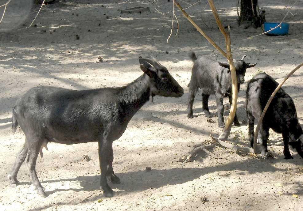 Камерунская коза -   (фото 4576)