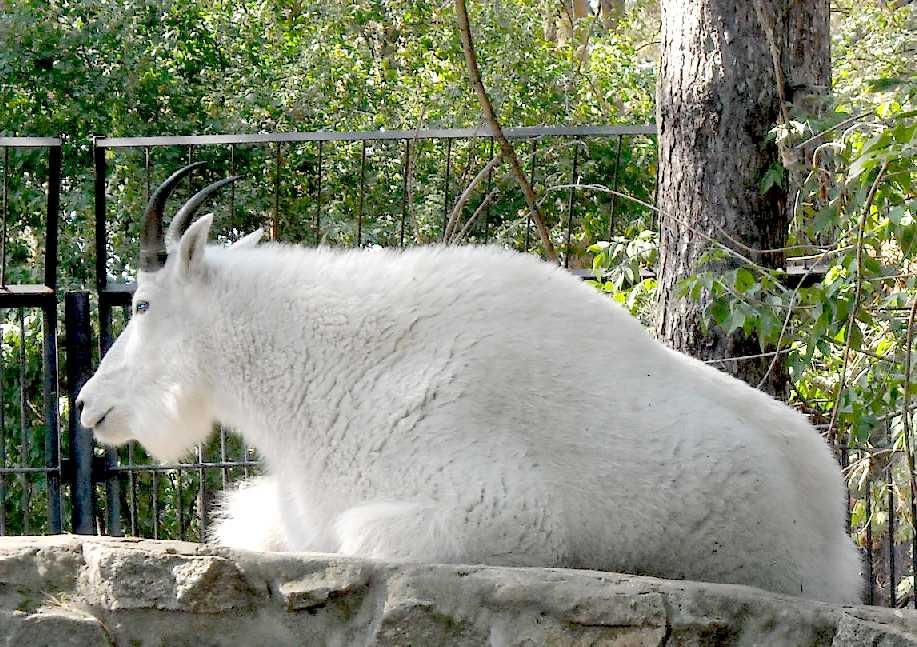 Снежная коза - Oreamnos americanus  (фото 4583)