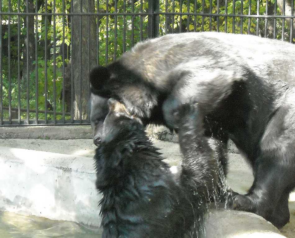 Уссурийский белогрудый медведь - Ursus thibetanus ussuricus  (фото 4713)