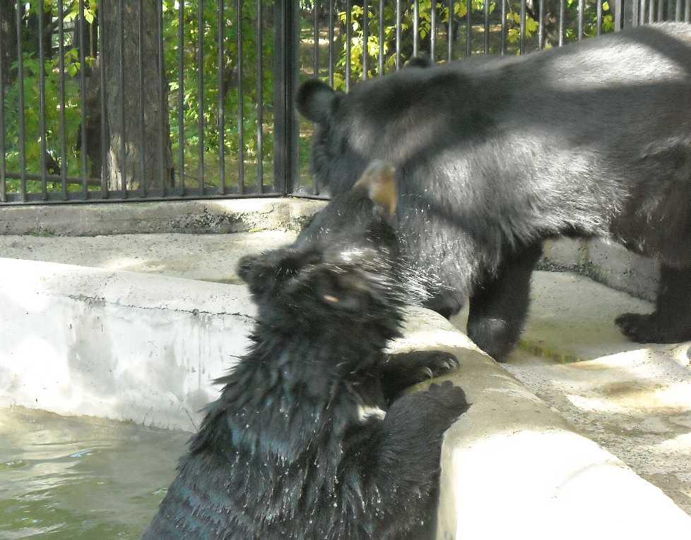 Уссурийский белогрудый медведь - Ursus thibetanus ussuricus  (фото 4715)