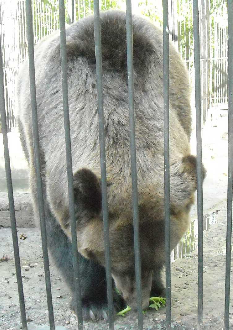Бурый медведь - Ursus arctos  (фото 4716)
