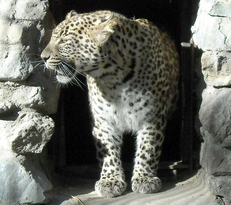 Персидский леопард - Panthera pardus saxicolor  (фото 4734)