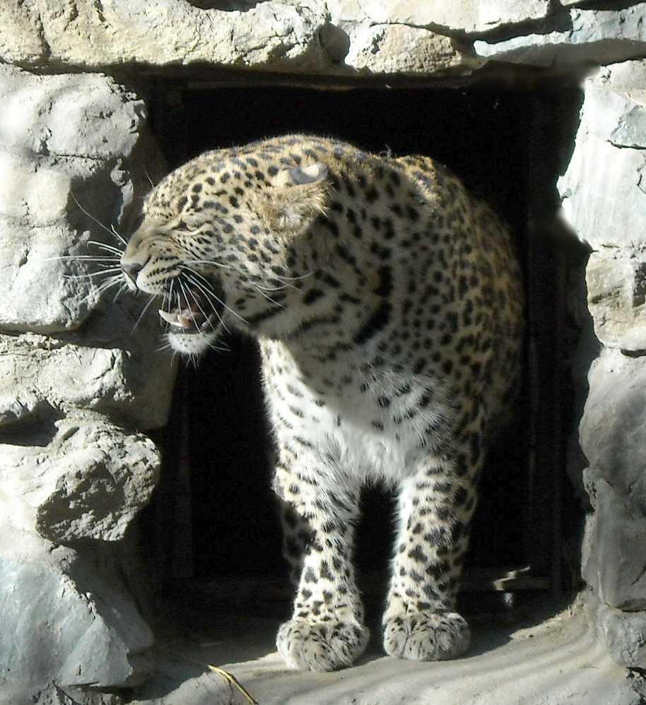 Персидский леопард - Panthera pardus saxicolor  (фото 4735)