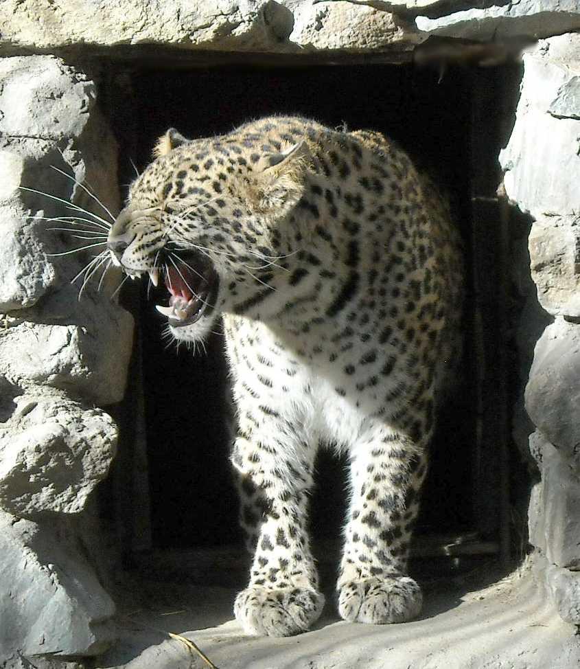 Персидский леопард - Panthera pardus saxicolor  (фото 4736)