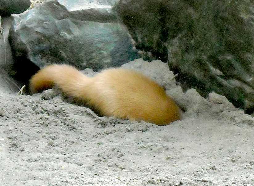 Колонок - Mustela sibirica  (фото 4749)