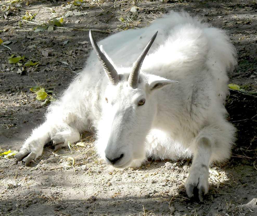 Снежная коза - Oreamnos americanus  (фото 4768)