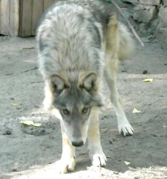 Серый волк - Canis lupus  (фото 4798)