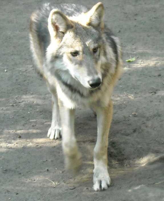 Серый волк - Canis lupus  (фото 4800)