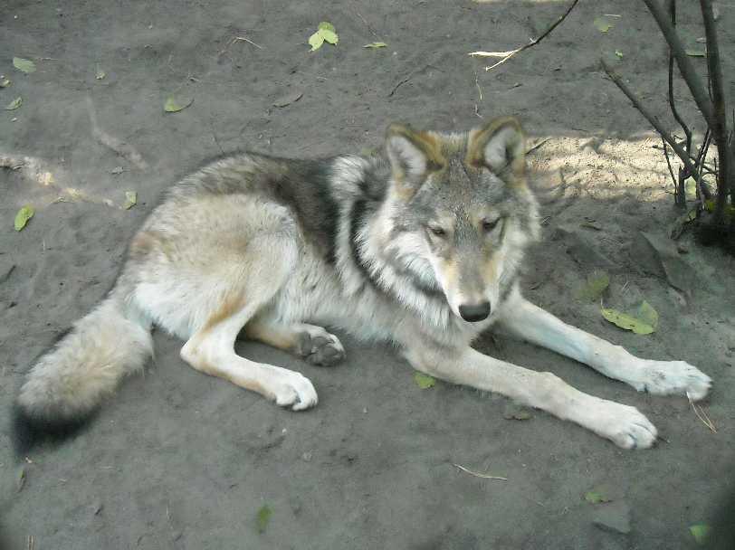 Серый волк - Canis lupus  (фото 4801)