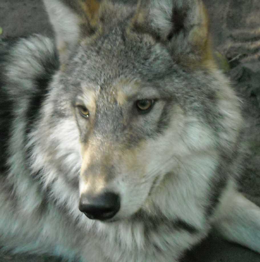 Серый волк - Canis lupus  (фото 4802)