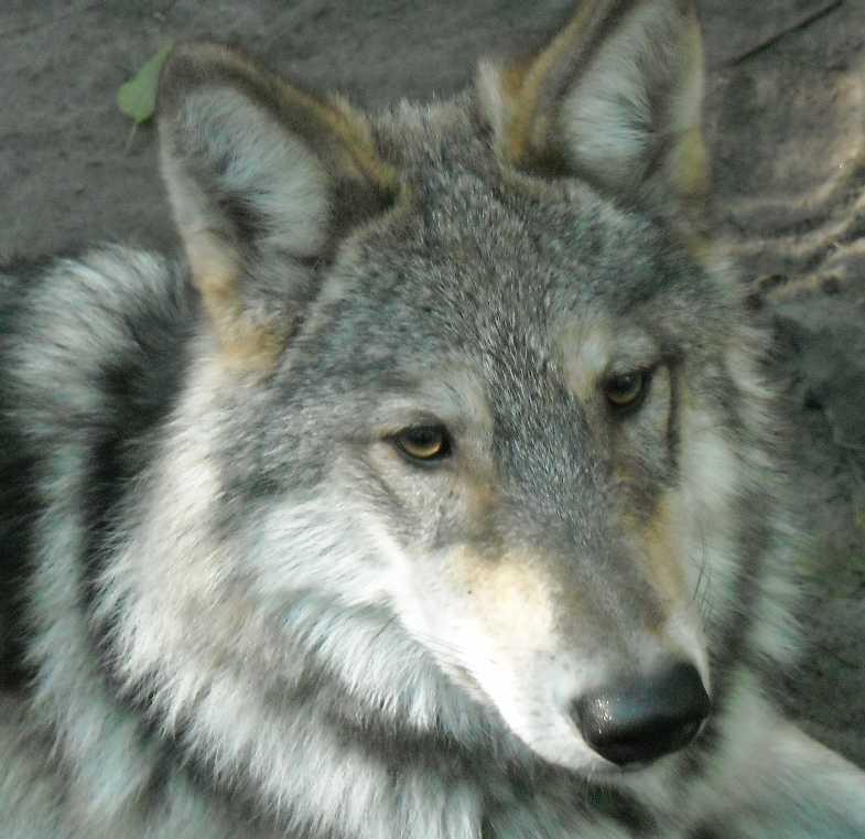 Серый волк - Canis lupus  (фото 4803)