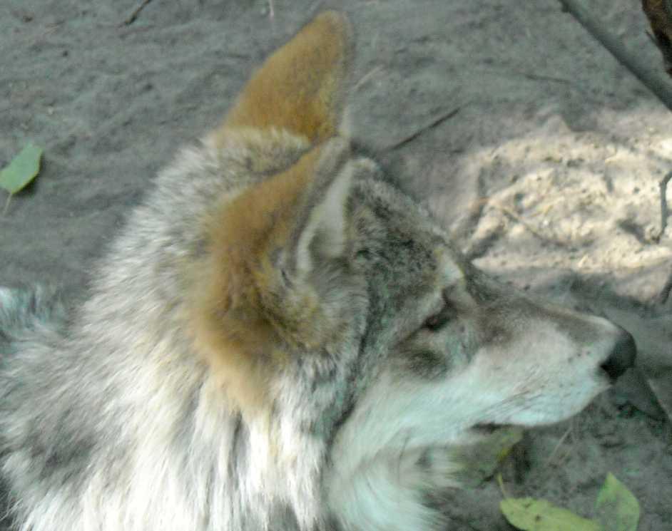 Серый волк - Canis lupus  (фото 4804)