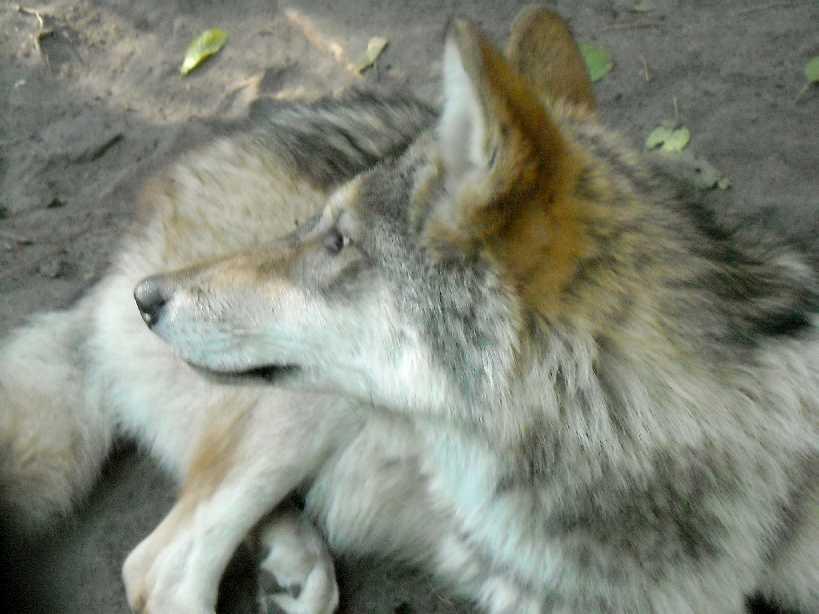 Серый волк - Canis lupus  (фото 4807)