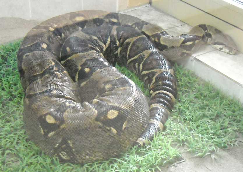 Обыкновенный удав - Boa constrictor  (фото 4873)