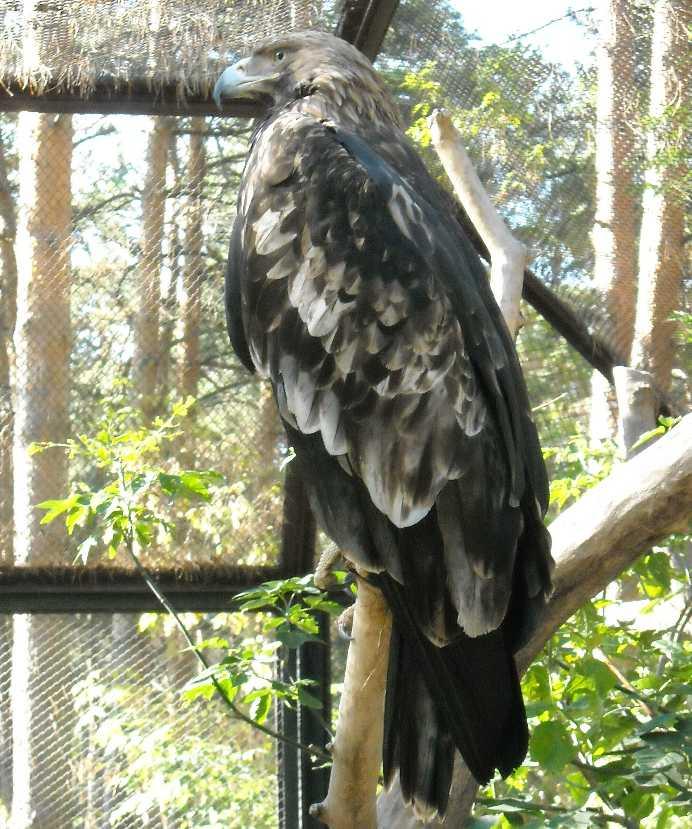 Беркут - Aquila chrysaetos  (фото 4885)