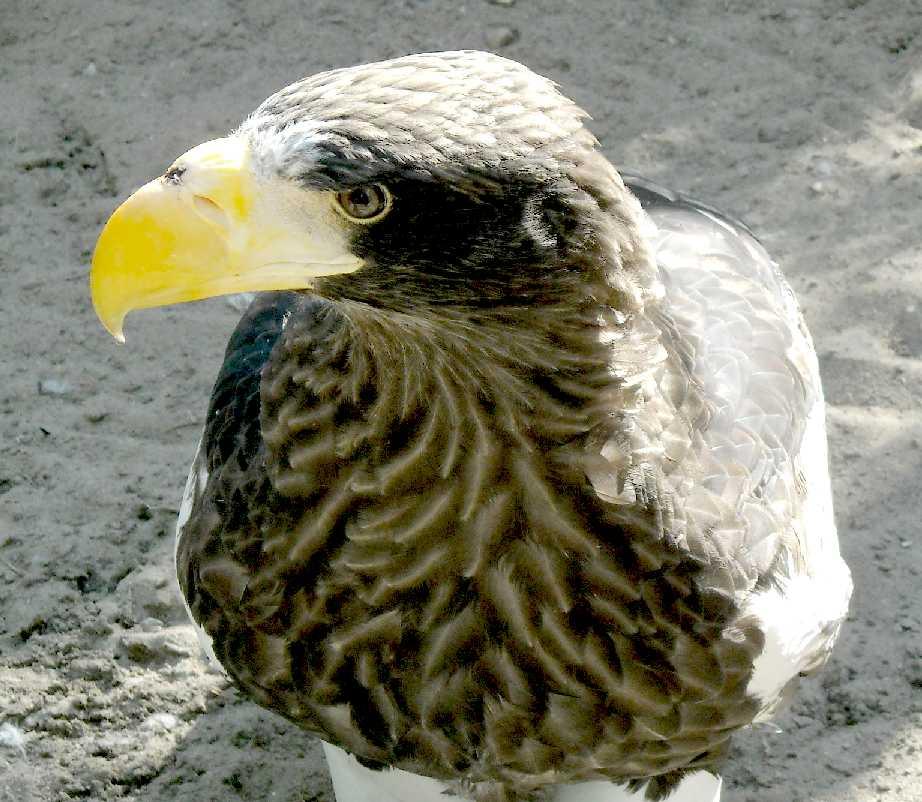 Орлан белоплечий - Haliaeetus pelagicus  (фото 4897)