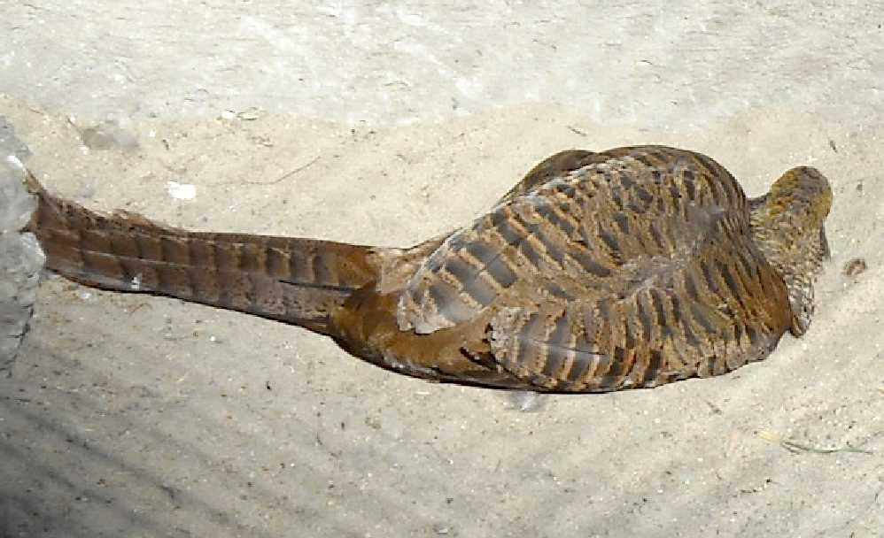 Золотой фазан - Chrysolophus pictus  (фото 4907)