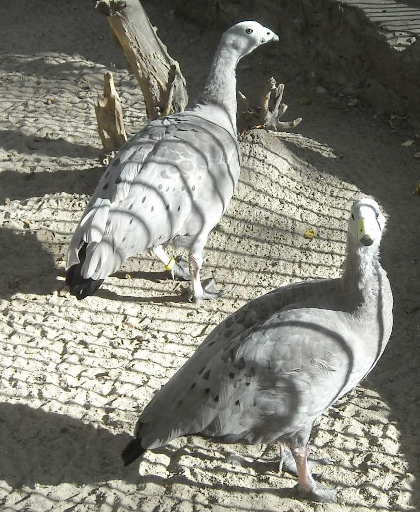 Куриный гусь - Cereopsis novaehollandiae  (фото 4927)
