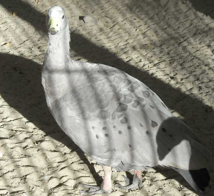 Куриный гусь - Cereopsis novaehollandiae  (фото 4928)