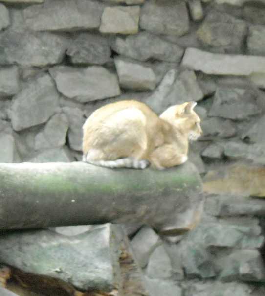 Камышовый кот - Felis chaus  (фото 5012)