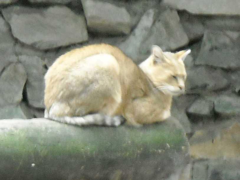 Камышовый кот - Felis chaus  (фото 5013)