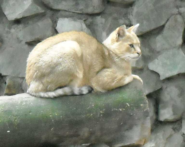 Камышовый кот - Felis chaus  (фото 5014)