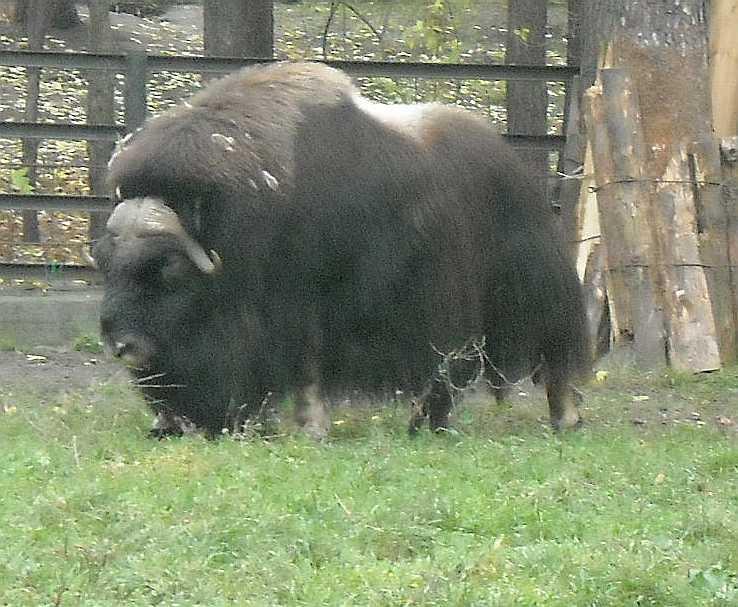 Овцебык - Ovibos moschatus  (фото 5039)