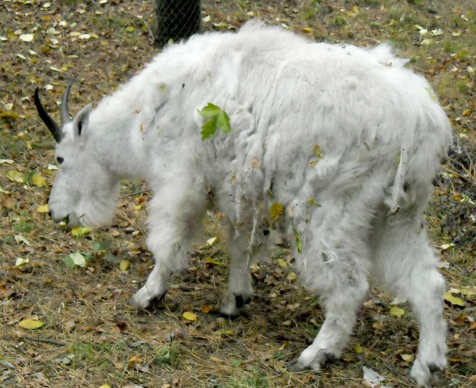 Снежная коза - Oreamnos americanus  (фото 5044)