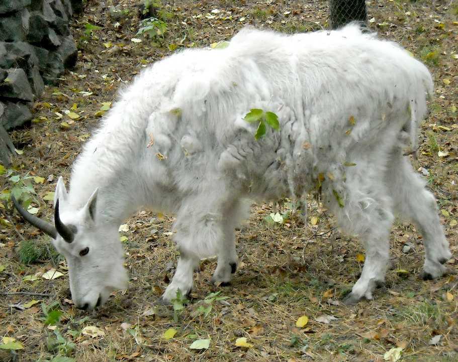 Снежная коза - Oreamnos americanus  (фото 5045)