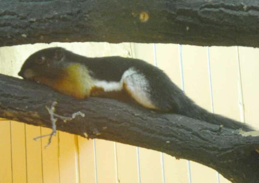 Ратуфа (гигантская белка) - Ratufa bicolor  (фото 5102)