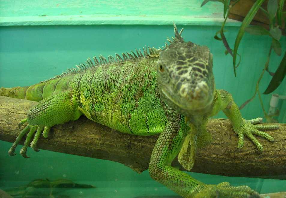Обыкновенная игуана - Iguana iguana  (фото 5135)